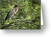 Heron.birds Greeting Cards - Green Heron Greeting Card by Saija  Lehtonen