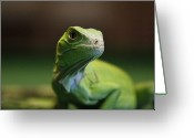 Iguana Greeting Cards - Green Iguana Greeting Card by Photographed by  Hannes Steyn