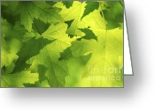Lit Greeting Cards - Green maple leaves Greeting Card by Elena Elisseeva