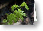 Maple Photographs Greeting Cards - Green maple leaves Greeting Card by Iryna Soltyska