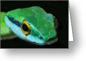Green Photo Greeting Cards - Green Parrot Snake Greeting Card by Larry Linton