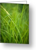 Prairie Native Greeting Cards - Green Prairie Grass Greeting Card by Steve Gadomski