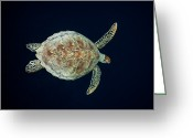 Common Green Turtle Greeting Cards - Green Sea Turtle Baa Atoll Indian Ocean Greeting Card by Reinhard Dirscherl