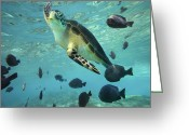 Common Green Turtle Greeting Cards - Green Sea Turtle Balicasag Island Greeting Card by Tim Fitzharris