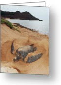 Common Green Turtle Greeting Cards - Green Sea Turtle Chelonia Mydas Female Greeting Card by Tui De Roy