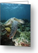 Common Green Turtle Greeting Cards - Green Sea Turtle Chelonia Mydas Greeting Card by Hiroya Minakuchi