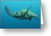 Common Green Turtle Greeting Cards - Green Sea Turtle Chelonia Mydas Greeting Card by Pete Oxford