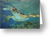 Swimming Photo Greeting Cards - Green Sea Turtle Chelonia Mydas Greeting Card by Tim Fitzharris