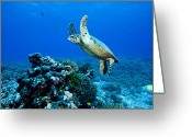 French Polynesia Greeting Cards - Green Sea Turtle Chelonia Mydas Greeting Card by Tim Laman