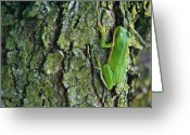Tree-covered Greeting Cards - Green Tree Frog on Lichen Covered Bark Greeting Card by Douglas Barnett