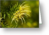 Spider Flower Greeting Cards - Grevillea Juniperina Sulphurea Greeting Card by Dr Keith Wheeler