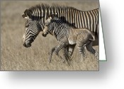 African Animals Greeting Cards - Grevys Zebra And Foal Lewa Wildlife Greeting Card by Suzi Eszterhas
