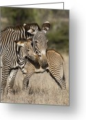 African Animals Greeting Cards - Grevys Zebra And Young Foal Lewa Greeting Card by Suzi Eszterhas