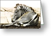 Tired Greeting Cards - Grevys Zebra Greeting Card by Bill Tiepelman