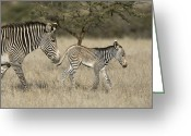 African Animals Greeting Cards - Grevys Zebra Mother And Foal Lewa Greeting Card by Suzi Eszterhas