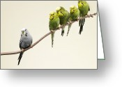 Standing Out From The Crowd Greeting Cards - Grey Budgie Standing Apart From Green Budgies Greeting Card by Michael Blann