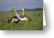 African Animals Greeting Cards - Grey Crowned Crane Couple Courting Greeting Card by Tim Fitzharris