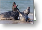 Horsehead Greeting Cards - Grey Seal Halichoerus Grypus Play Greeting Card by Ingo Arndt