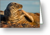 Gabor Pozsgai Greeting Cards - Grey seal Halichoerus grypus watching Greeting Card by Gabor Pozsgai