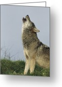 Howl Greeting Cards - Grey Wolf Howling Greeting Card by Duncan Shaw