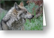 Wolves Mixed Media Greeting Cards - Grey Wolf Profile 2 Greeting Card by Ernie Echols