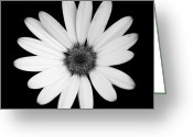 Victoria Wise Greeting Cards - Greyscale Osteospermum Greeting Card by Victoria Wise