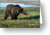 Grizzly Bears Greeting Cards - Grizzly at Yellowstone Lake Greeting Card by Sandra Bronstein