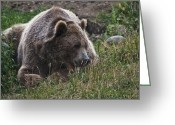American Brown Bear Greeting Cards - Grizzly Bear -1 Greeting Card by Paul Cannon