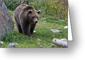 American Brown Bear Greeting Cards - Grizzly Bear -3 Greeting Card by Paul Cannon