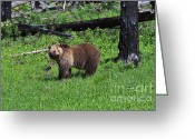 American Brown Bear Greeting Cards - Grizzly Bear Greeting Card by Louise Heusinkveld