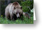 Three Animals Greeting Cards - Grizzly Bear Sow In Wildflowers Greeting Card by Rob Daugherty - RobsWildlife.com