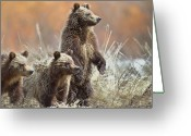 Three Animals Greeting Cards - Grizzly Cubs Greeting Card by Rob Daugherty - RobsWildlife.com
