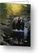 Bear Drawings Greeting Cards - Grizzly Reflection Greeting Card by Brent Ander