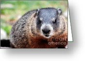 Groundhog Greeting Cards - Groundhog Greeting Card by Charline Xia