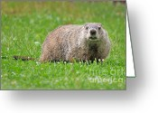Groundhog Greeting Cards - Groundhog Greeting Card by Dave Gigliotti