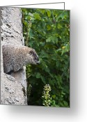 Groundhog Greeting Cards - Groundhog Day Greeting Card by Bill Cannon