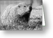 Groundhog Greeting Cards - Groundhog Greeting Card by Erika Kennedy