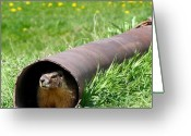 Groundhog Greeting Cards - Groundhog In A Pipe Greeting Card by Will Borden