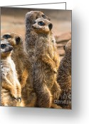 Standing Meerkat Photo Greeting Cards - Group of Meerkats Greeting Card by Andrew  Michael