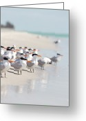 Wild Bird Greeting Cards - Group Of Terns On Sandy Beach Greeting Card by Angela Auclair