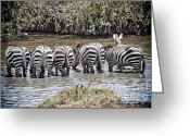 Waterhole Greeting Cards - Group of Zebra Cautiously Drinking Greeting Card by Darcy Michaelchuk