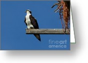Fishers Greeting Cards - Guarding the Nest Greeting Card by Robert Bales