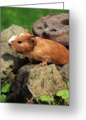 Nes Greeting Cards - Guinea pigs Greeting Card by Falko Follert