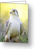 White Morph Greeting Cards - Gyrfalcon Greeting Card by Linda Wright