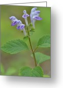 Skullcap Greeting Cards - Hairy Skullcap Greeting Card by JD Grimes