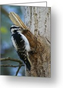 Woodpecker Photos Greeting Cards - Hairy Woodpecker Greeting Card by Ben Upham