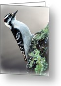 Wildlife Photo Greeting Cards - Hairy Woodpecker Greeting Card by Bob Orsillo