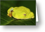 Red Eyed Leaf Frog Greeting Cards - Half awake.. Greeting Card by Nina Stavlund