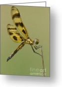 Pennant Greeting Cards - Halloween Pennant Dragonfly Greeting Card by Clarence Holmes