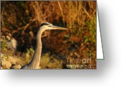 Audubon Greeting Cards - Handsome Heron Greeting Card by Al Powell Photography USA